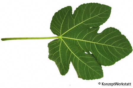 Lobed And Toothed Leaves Cleaved 3-7-lobed Leaves